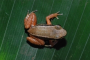 Colostethus pratti (Pratt's rocket frog)