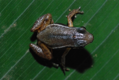Silverstoneia nubicola (Boquete rocket frog)