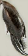 Eulaema  meriana
