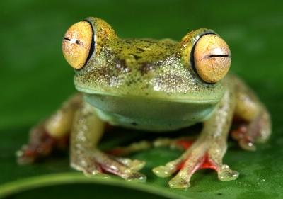 Canal Zone treefrog (Hypsiboas rufitelus)