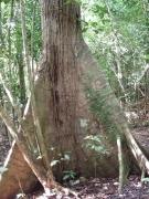 Smithsonian Tropical Research Institute-Ceiba pentandra