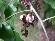 Machaerium seemannii Flower