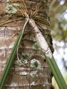 Oncidium stipitatum on Cocos nucifera