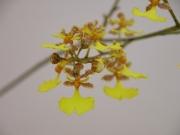 Oncidium stipitatum Flower found on Cocos nucifera