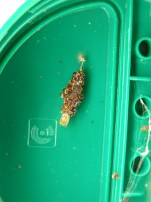Perisceptis carnivora pupa case