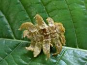 Phobetron  hipparchia