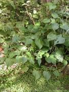 Piper marginatum Flower