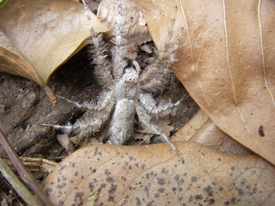 Adult Senoculus canaliculatus, spider with fringed legs