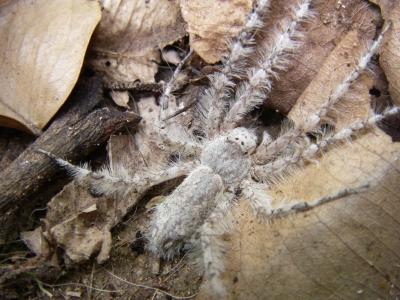 Adult Senoculus canaliculatus, spider with fringed legs