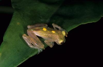 Adult Hyalinobatrachium aureoguttatum