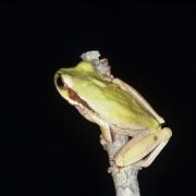 Adult Smilisca phaeota