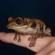Adult Male Trachycephalus venulosus