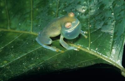 Adult Male Cochranella granulosa