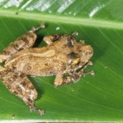 Adult Pristimantis cerasinus