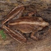 Adult Craugastor crassidigitus