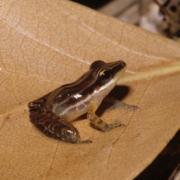 Adult Craugastor talamancae