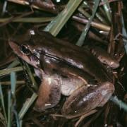 Adult Leptodactylus bolivianus