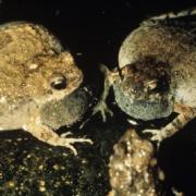 Adult Male Engystomops pustulosus