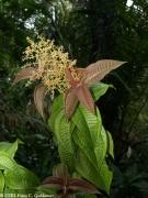 Miconia prasina inflorescence