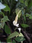 Anemopaegma chrysoleucum flower