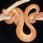 Corallus annulatus