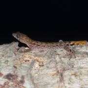 Lepidoblepharis sp.