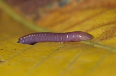 Oscaecilia ochrocephala
