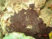 Xestospongia bocatorensis