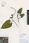Aristolochia pilosa
