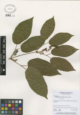 Stizophyllum riparium