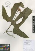 Gurania makoyana
