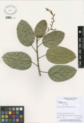 Omphalea diandra