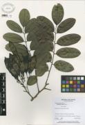 Dalbergia retusa