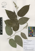 Banara guianensis