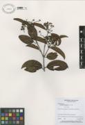 Anthodon panamense