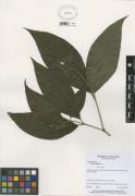Miconia  affinis