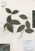 Abuta racemosa