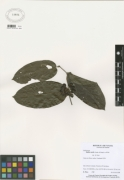Smilax mollis