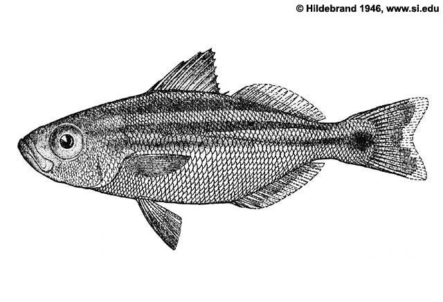 Peruvian salema (Xenichthys rupestris)