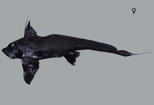 Black Ghost Shark