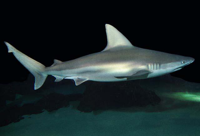galanos shark